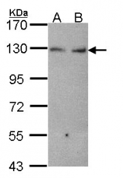 GTX102502 - Cadherin-6