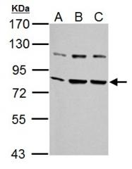 GTX102567 - HSPA5 / GRP78