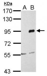 GTX102577 - CD282 / TLR2