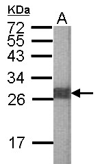 GTX102672 - Elastase-2B