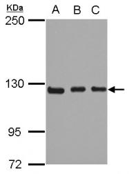 GTX102728 - ITGA9 / Integrin alpha-9