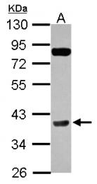 GTX102754 - Cyclin H