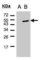 GTX102825 - Cytohesin 1