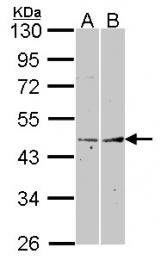 GTX102832 - Fibromodulin