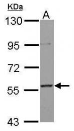 GTX102835 - MLLT3 / AF9