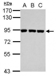 GTX102877 - Plasminogen / PLG