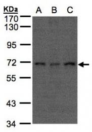 GTX102905 - CDC16 / APC6