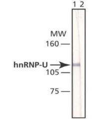 GTX10297 - hnRNP-U / HNRNPU