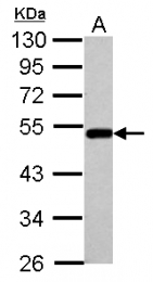 GTX102984 - Bleomycin hydrolase