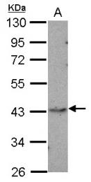 GTX103009 - MAP kinase p38 alpha / MAPK14
