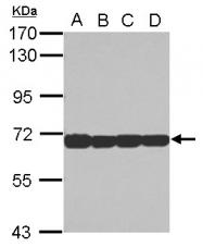 GTX103019 - STIP1