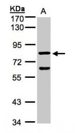 GTX103027 - Cyclin F