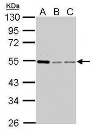 GTX103042 - Cyclin A2