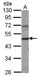 GTX103043 - Cyclin A2