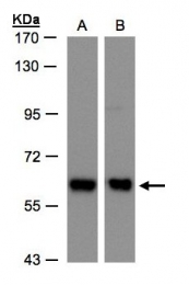 GTX103252 - Coatomer subunit delta (COPD)