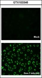 GTX103346 - Dengue Virus 2