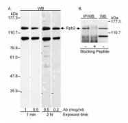 GTX10338 - POLR2B / RPB2