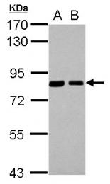 GTX103383 - Sorting nexin-9 (SNX9)