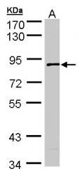 GTX103501 - SCYL3 / PACE1