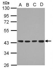 GTX103639 - DNAJB12
