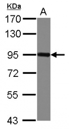 GTX103654 - CD113 / Nectin 3