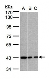 GTX103676 - G Protein alpha Inhibitor 3
