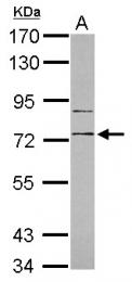 GTX103761 - CD180 / RP105
