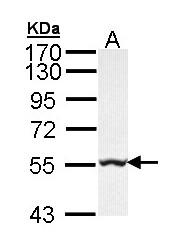 GTX103789 - Glycerate kinase