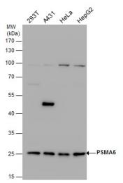 GTX103845 - PSMA5