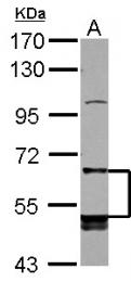 GTX104193 - CD85c / LILRB5