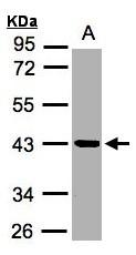 GTX104200 - KLK11 / Kallikrein-11