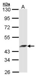 GTX104241 - Arfaptin-2