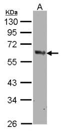 GTX104634 - Cyclooxygenase 1