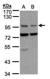 GTX104673 - Axin-1