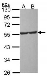 GTX104703 - Serotonin receptor 1A (HTR1A)