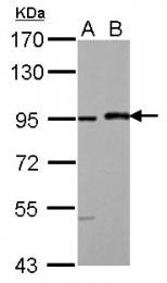 GTX104748 - Mastermind-Like Protein 1