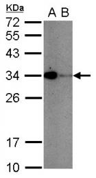 GTX104762 - CD279 / PD1