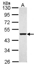 GTX104769 - Flotillin-1 / FLOT1