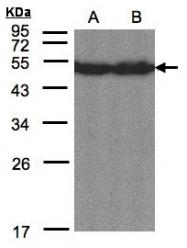 GTX104818 - CREB3L1 / OASIS