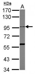 GTX104940 - CD156c / ADAM10