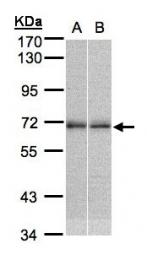 GTX105119 - NR2C2
