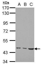 GTX105217 - MMP-19
