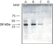 GTX10523 - VDAC1