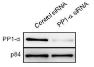 GTX105255 - PPP1CA