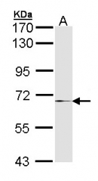 GTX105268 - MMP-17