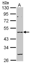 GTX105282 - GABRA2