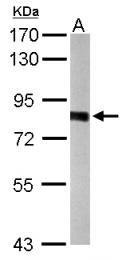 GTX105344 - PWP2