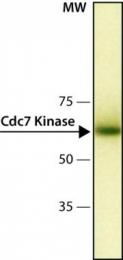 GTX10535 - CDC7