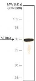 GTX10536 - CDC14A