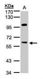 GTX105410 - PPP1R16A / MYPT3